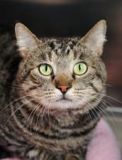 Healthy tabby cat with FIV