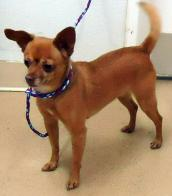Small dog available for adoption from Davis County Animal Services