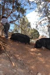 Pigs rooting in their new play and enrichment area