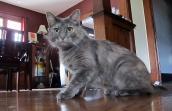 Eleanor a dark gray cat sitting on the kitchen floor