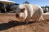 Hazel the pig who has mechanical blindness will regain her sight once she loses weight