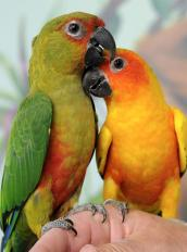 Sun conure and Sunday conure