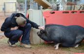Sammy, a black pig, being petted