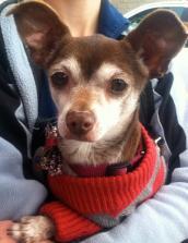 Chihuahua wearing a sweater