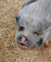 Nanuie the pig in her new adoptive home