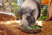 Panda the pig who is not teacup sized eating a salad