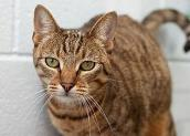 Tabby cat who was neutered by Pearl River SPCA in Picayune, Mississippi, with grant funds