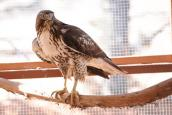 Red-tailed hawk with broken toe that has healed