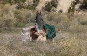 Red-tailed hawk who was hit by a truck being released into the wild again