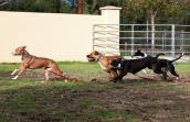 Dogs -- Scarlett, Hamlet, Sadie and Pierce -- in a shelter playgroup