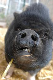 Scarlett Lilly the pig who was rescued