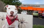 Pit bull in front of Best Friends Pet Adoption Center in Sugar House in Salt Lake City, Utah