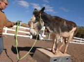 Donkey standing on a platform and trainer
