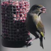 Wild bird eating from a bird feeder