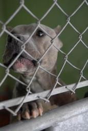 Grey pit bull behind a fence