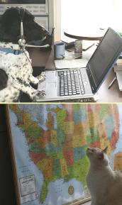 Dog working at a laptop and cat staring at a map of the United States