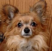 Rosa the long-haired Chihuahua from a Nebraska puppy mill