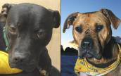 Cherry and Lucas, former Mike Vick fighting dogs