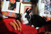 Black and white bunny with a bunch of carrots