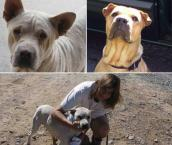 Before and after pics of Shar-Pei named Ghost