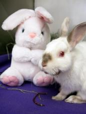 Jerry the rabbit with horrible teeth problems and a stuffed bunny at the vet clinic