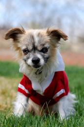 Little Larry the blind, deaf and diabetic longhaired Chihuahua