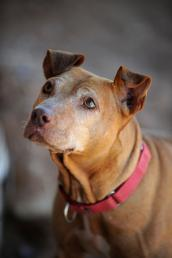 Little Red, former Michael Vick dog from his fighting ring