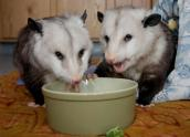Two opossums eating from a bowl