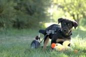 Special-needs puppy using a wheelchair