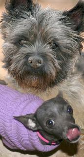 Cairn terrier and Blue Chihuahua