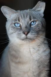 Polydactyl cat with blue eyes