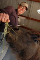 Miniature horse being fed grass