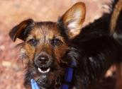 Buffy the Yorkshire and Jack Russell terrier mix