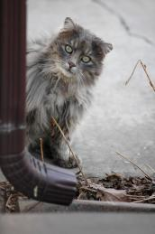Stray gray cat on Chicago streets
