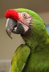 Military macaw Colonel Potter who is receiving training and socialization
