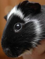Black and white guinea pig named Kiska