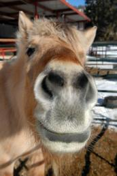 Fjord horse with missing eye