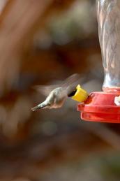 Hummingbird getting a drink from a birdfeeder
