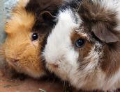 Two adoptable guinea pigs