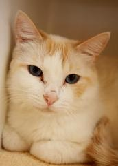 Orange and white cat named Sinatra who likes to travel in an RV