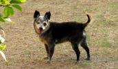 Rescued senior Chihuahua