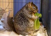 Twizzlers the squirrel is obese