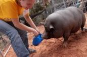 Arnold the pig with a caregiver at Best Friends Animal Sanctuary