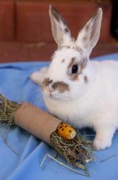 Bunny with a foraging toy, a toilet paper roll stuffed with hay and goodies