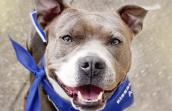 Pit bull adoptable from Saving Sunny in Louisville, Kentucky