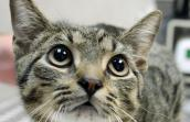 Steve-O the tabby cat who was adopted a New York adoption event