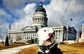 Captain Cowpants, the pit bull terrier who is a registered therapy dog, visiting the Utah State Capitol