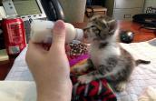 Orphaned abandoned kitten being bottle-fed