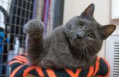 Hurricane Katrina rescue cat Wrinkles the Russian Blue reaches out for some love