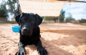 Bayley the sweet black Labrador mix who is vision and hearing impaired